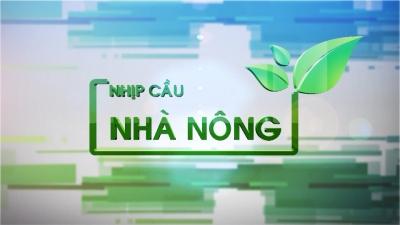 Trồng chuối tây Thái Lan ở vùng chuyển đổi