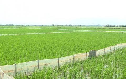 Các biện pháp diệt chuột bảo vệ lúa mùa