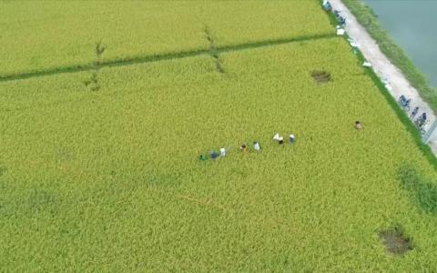 Thực trạng sản xuất lúa tại Thái Bình