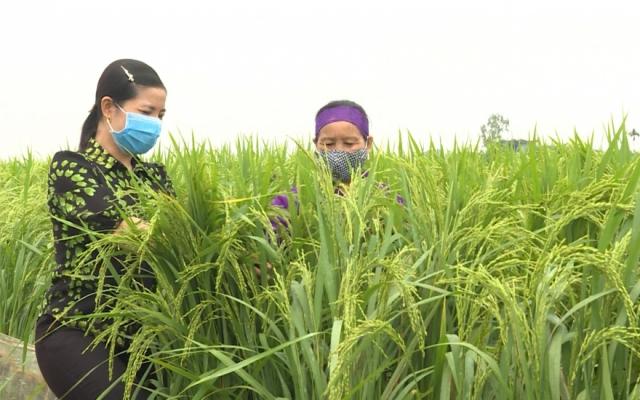 Thay đổi tư duy sản xuất lúa của nông dân